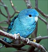 Christmas Parrotlet