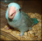 Blue parrotlet baby