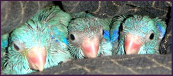 parrotlet baby